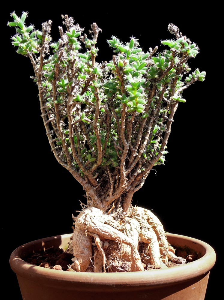 Trichodiadema Bulbosum Cactus Jungle