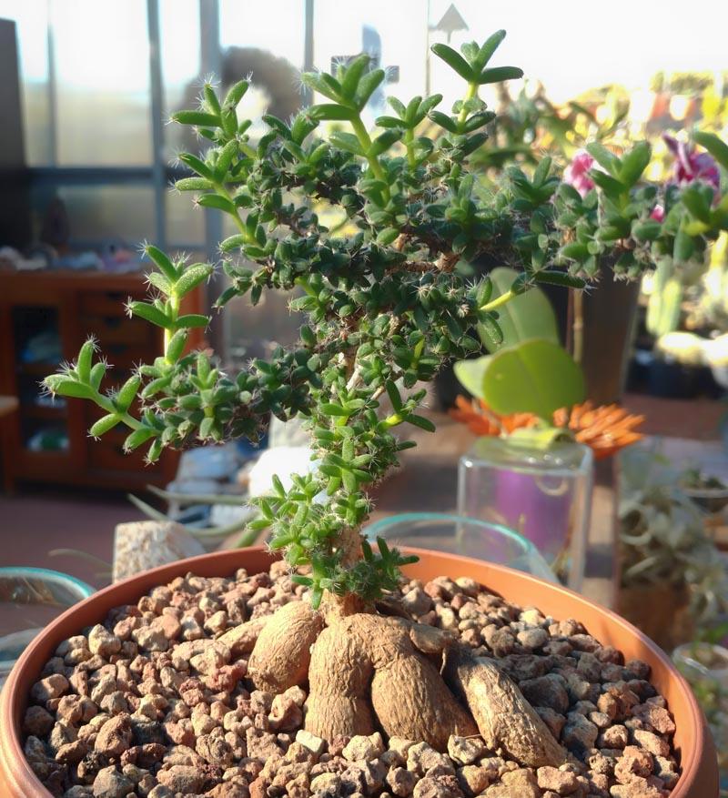 Trichodiadema Bulbosum Cactus Jungle