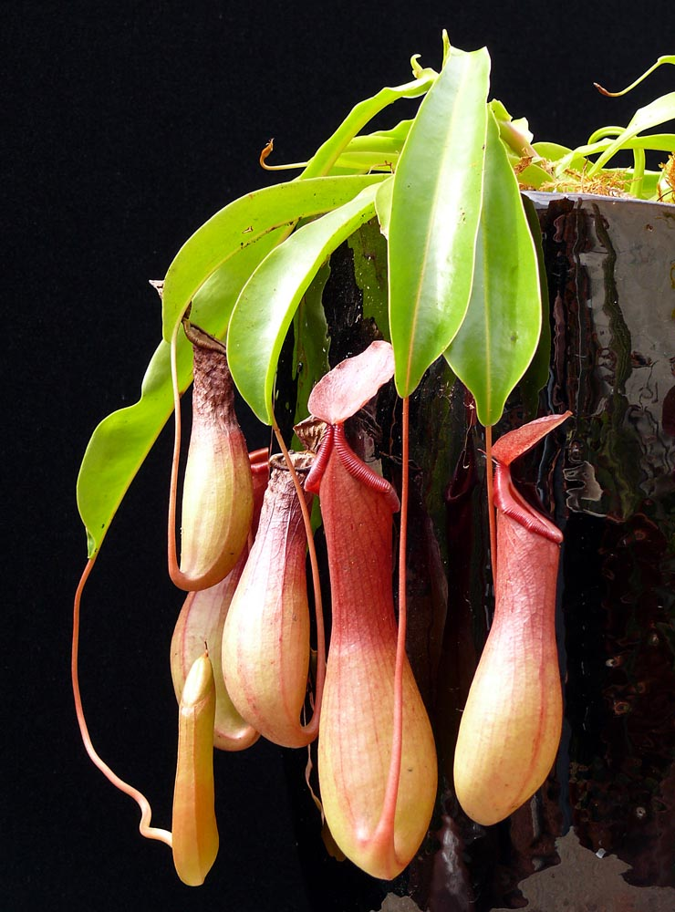 Nepenthes Alata Cactus Jungle