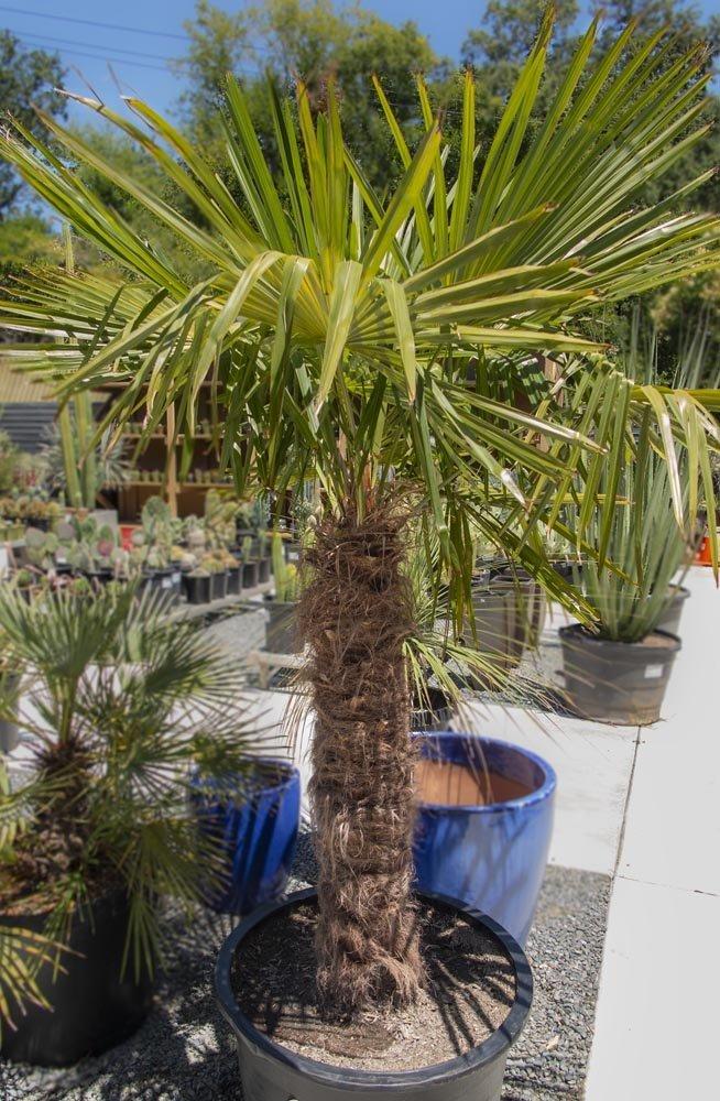 Trachycarpus Fortunei Cactus Jungle