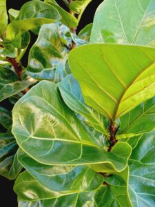 ficus_lyrata_little_fiddle