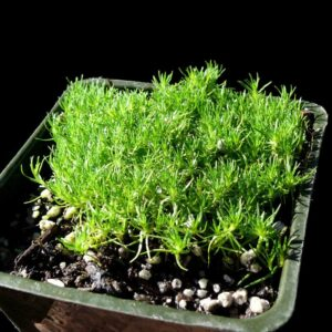 sagina_subulata_aurea_scotch_moss