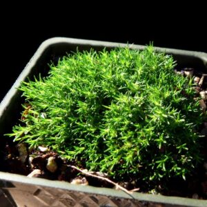 sagina_subulata_irish_moss