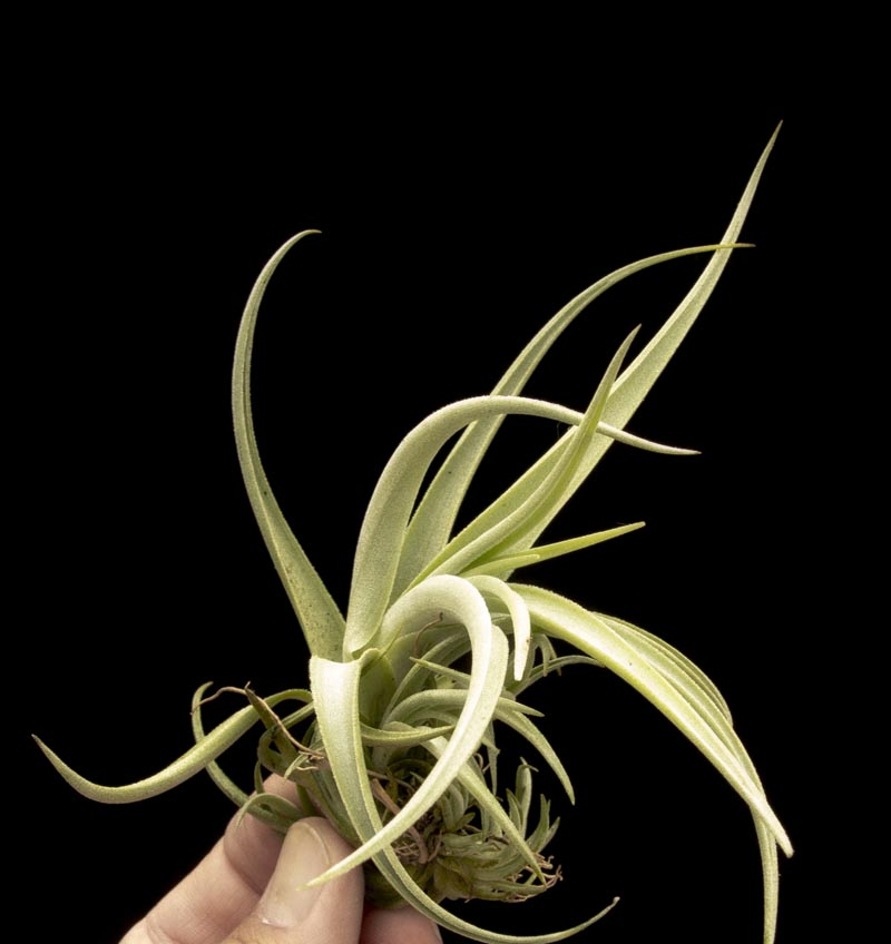 Airplants cactus jungle Tillandsia hybrids
