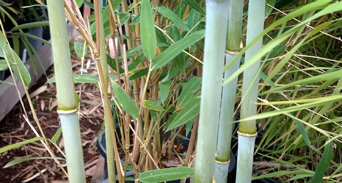 Fast Growing Clumping Bamboo With New Culms That Are Powdery Baby Blue Which Slowly Age To A Mix Of Green And Yellow Upri