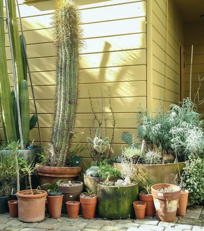 Backyard Cactus
