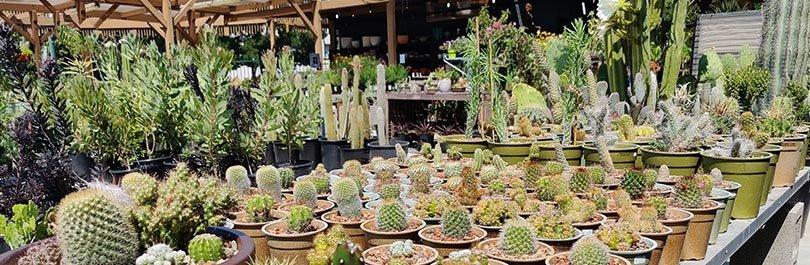 aloe longistyla cactus jungle